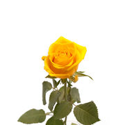 Rose, yellow (R0004)