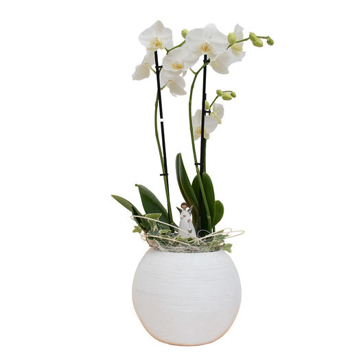 Phalaeonopsis orchid from 21,95€